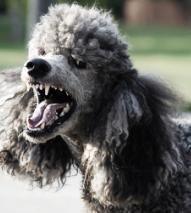 תמונה של כלב נובח