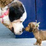 תמונה של כלב קטנטן וכלב ענק