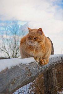 חתול חצר בחורף