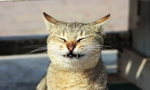 חתול דנטלי