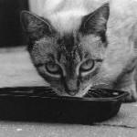 חתול בזמן אכילה