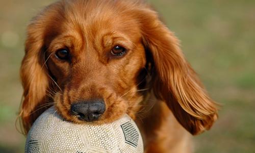 תמונה של כלב עם כדורגל