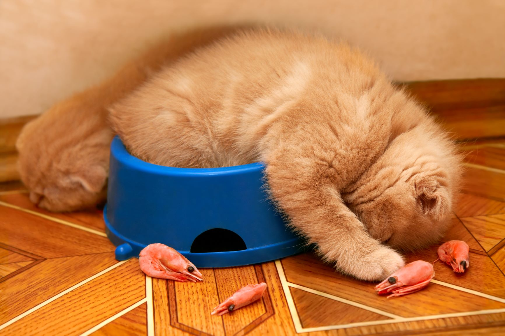 חתול בתוך צלחת אוכל