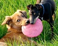 2 כלבים עם פריזבי