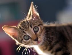 חתול בוהה