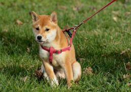 כלב עם רצועה ורתמה