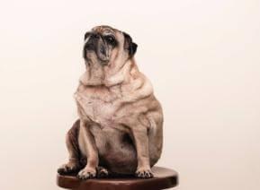 כלב שמן איך מטפלים