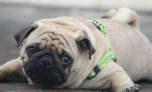 איך לעזור לכלב שמן לרדת במשקל