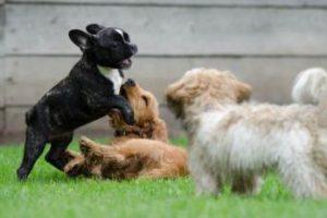 גורי כלבים משחקים